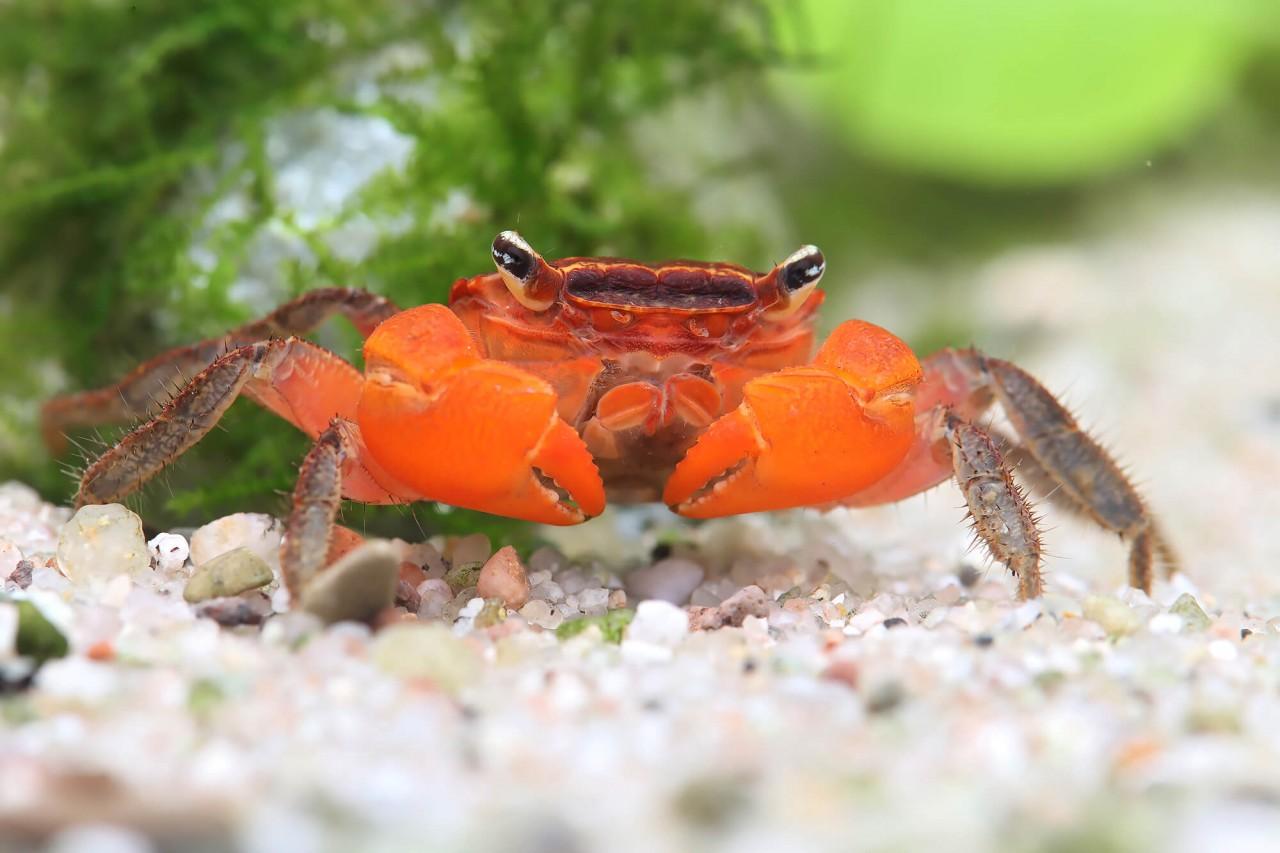 "Krabbe ""Red Inca"", Rote Inkakrabbe - Fasciarma fasciatum"