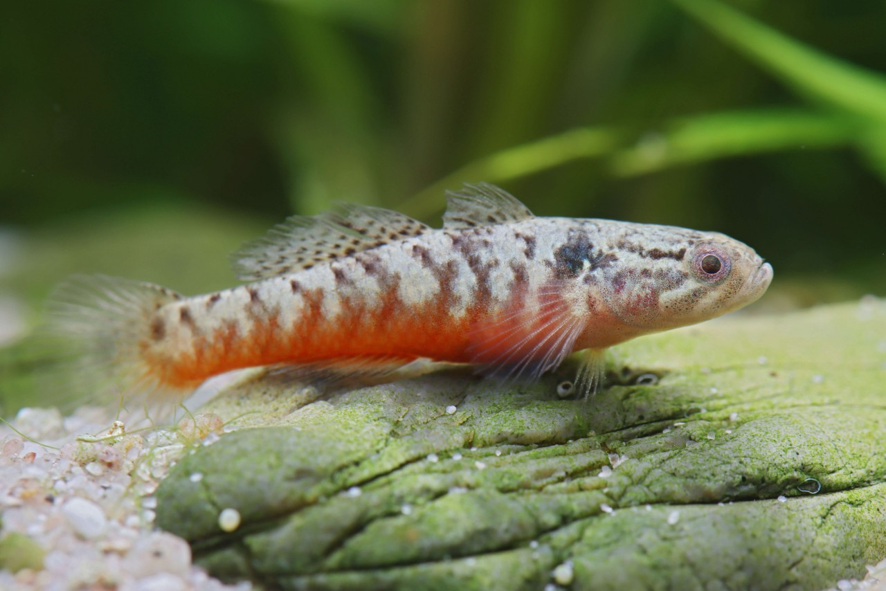 Papua Rotbauchgrundel - Oxyeleotris nullipora