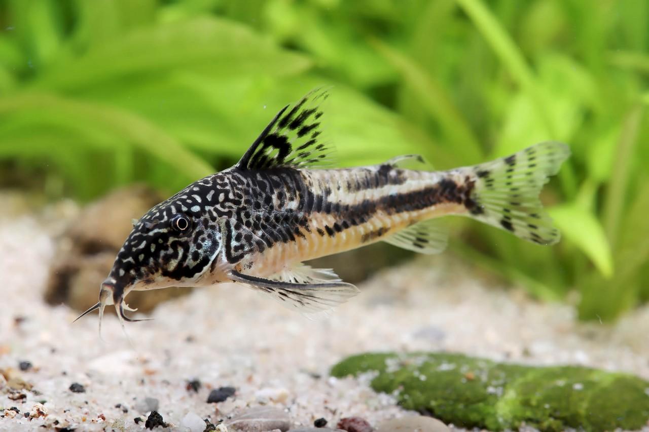 Schabracken Panzerwels - Corydoras (Scleromystax) barbatus