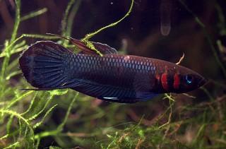 Foerschs Kampffisch - Betta foerschi