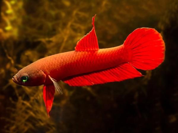 Roter Kampffisch - Betta rutilans