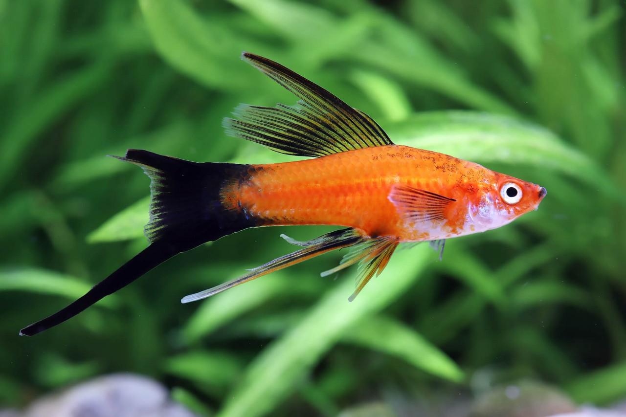 """Schwertträger """"Lyratail rot oder WT"""" - Xiphophorus helleri"""