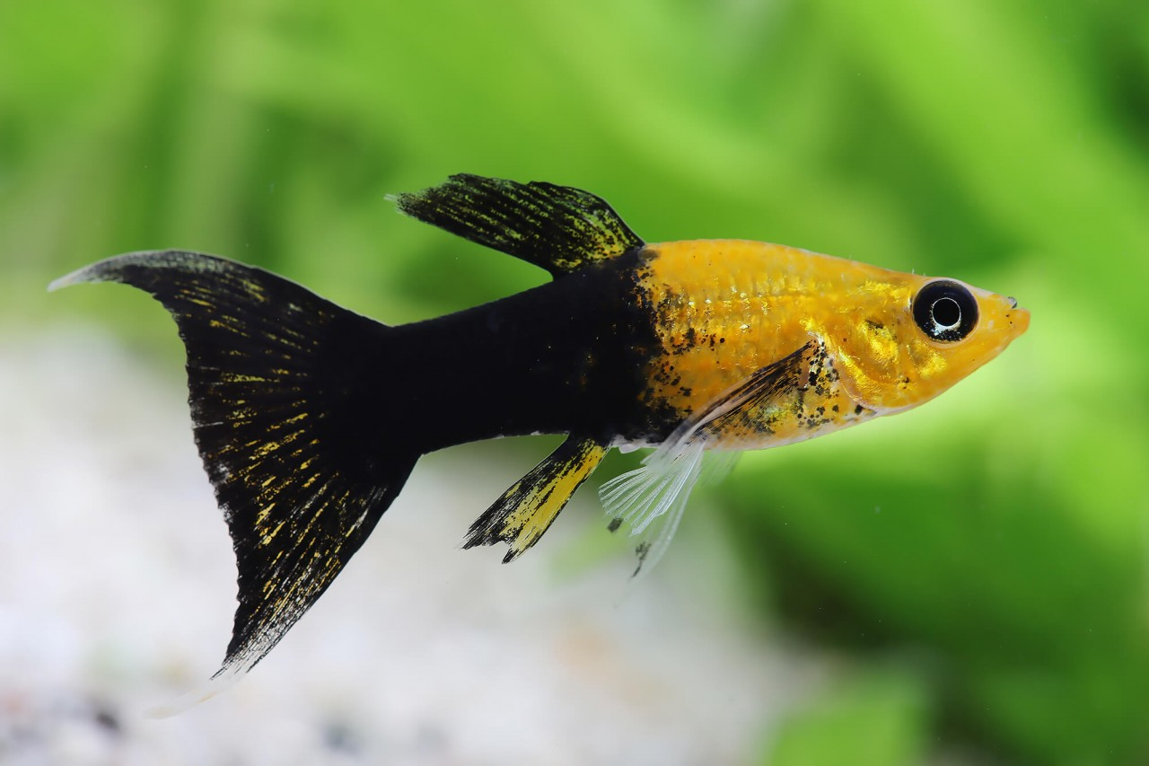 "Molly ""Golden Panda Lyratail"" - Poecilia sphenops"