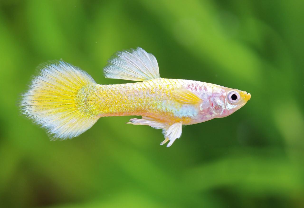 """Guppy """"Platinum yellow"""" - Poecilia reticulata"""