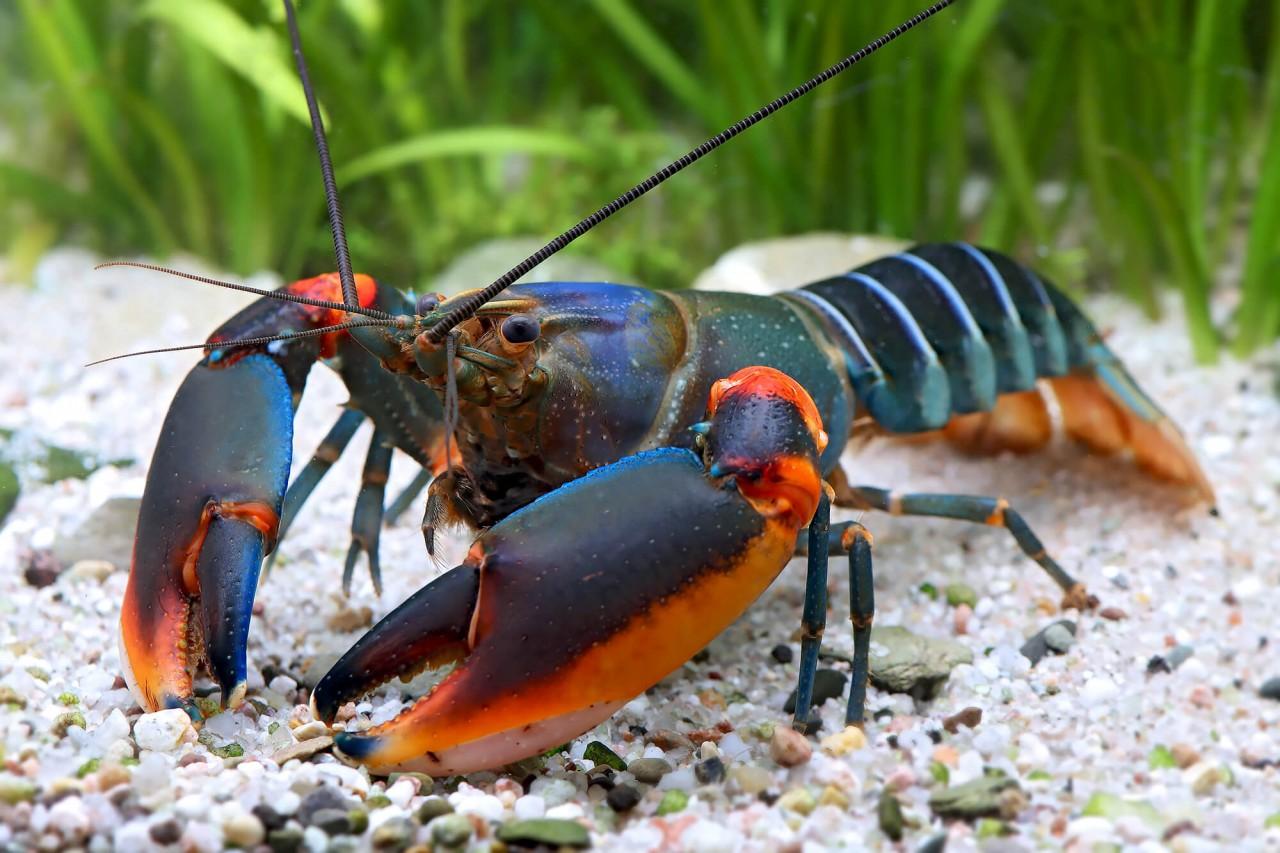 "Krebs ""blue kong red claw"" - Cherax alyciae"