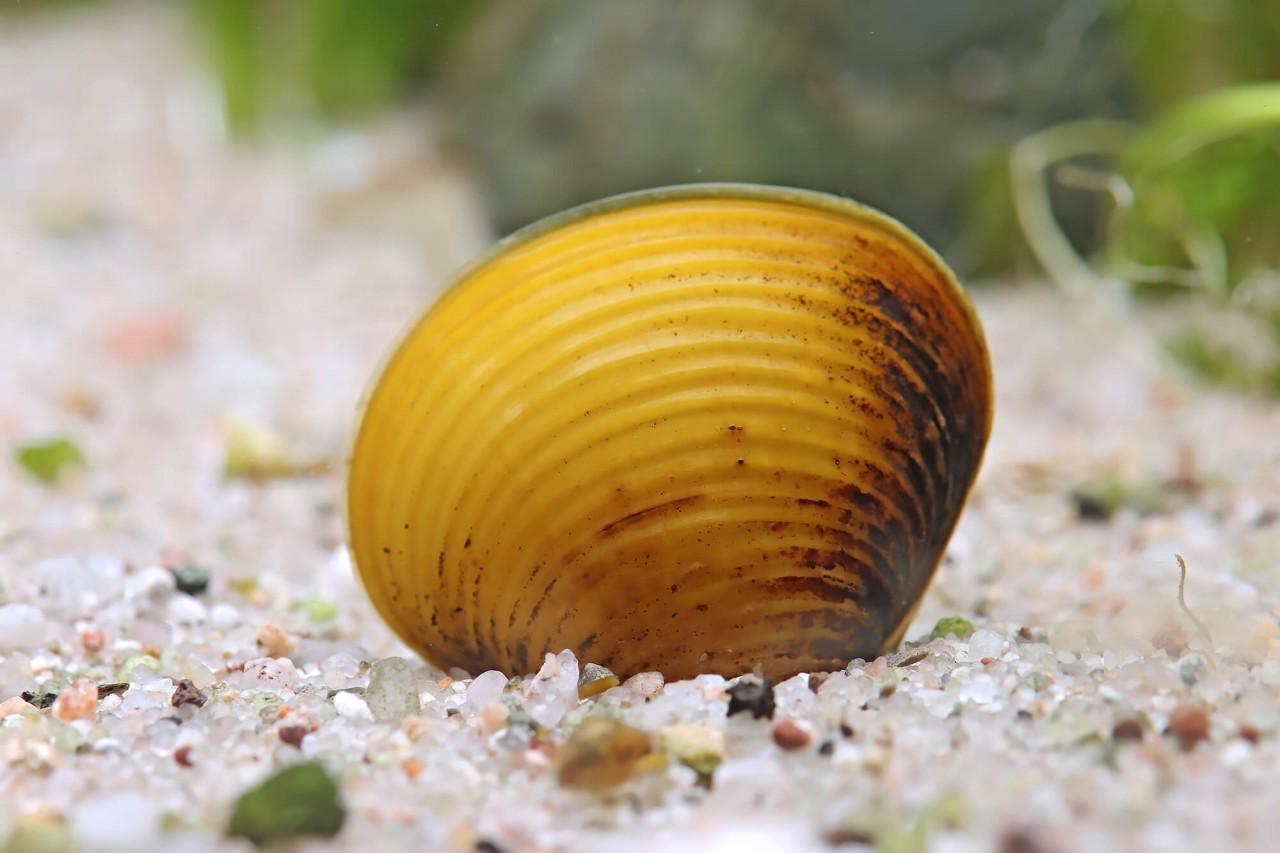Goldene Körbchenmuschel - Corbicula spec.