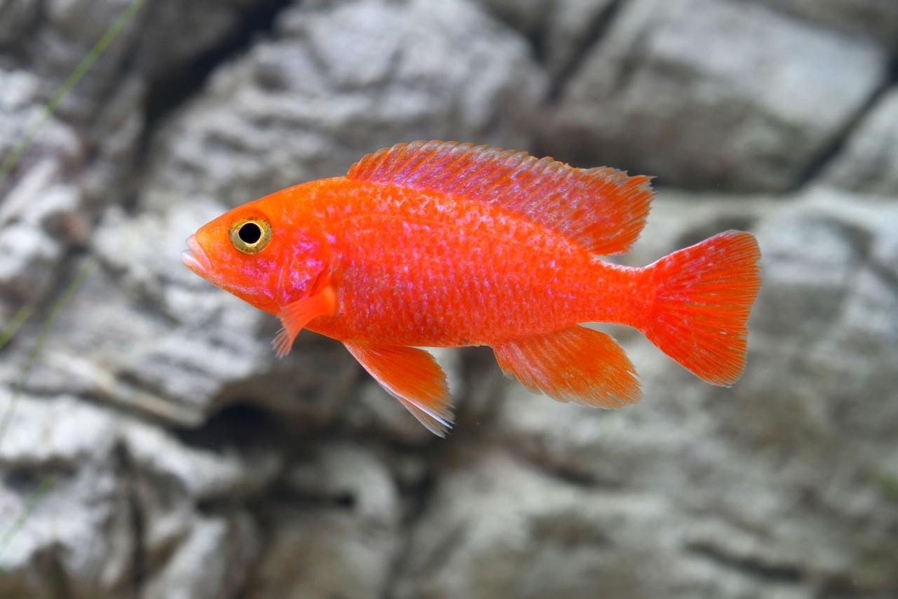 "Kaiserbuntbarsch ""Fire Fish"" - Aulonocara spec."