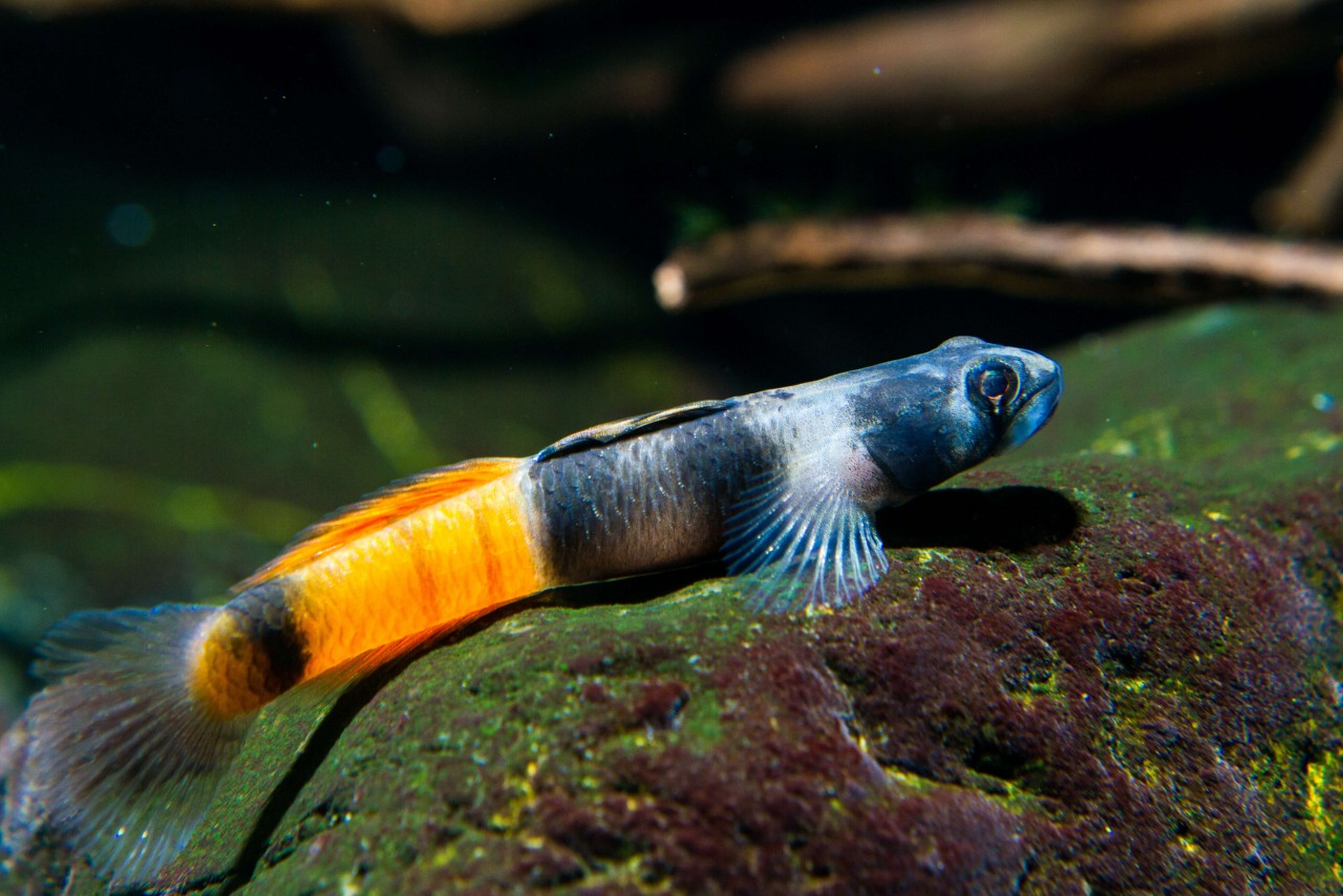 Rotstreifengrundel - Sicyopus zosterophorus
