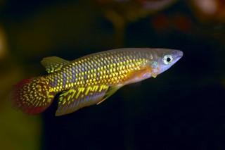 Streifenhechtling - Aplocheilus lineatus