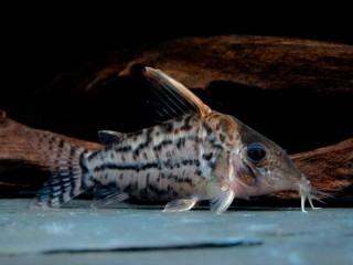 Schöner Hochflossen Panzerwels - Corydoras pulcher
