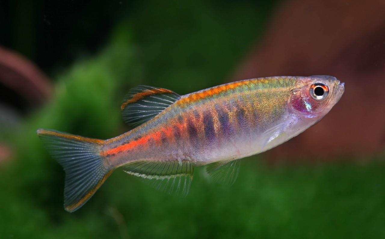 Rubinbärbling - Celestichthys (Danio) choprae