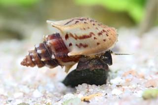Gestachelte Turmdeckelschnecke - Mieniplotia (Thiara) scabra