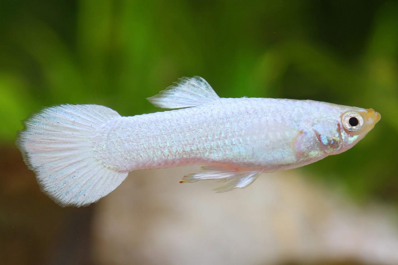 "Guppy ""Platinum white"" - Poecilia reticulata"