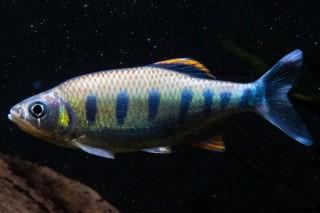 Blaupunkt Gebirgsbärbling - Barilius bakeri