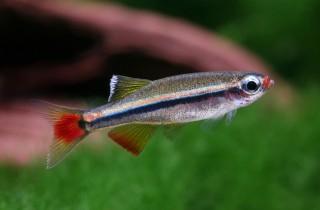 Vietnamesischer Kardinalfisch - Tanichthys micagemmae