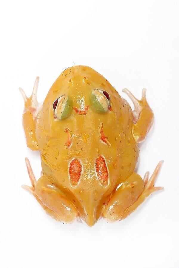 "Cranwelli Schmuckhornfrosch ""pikachu"" - Ceratophrys cranwelli"