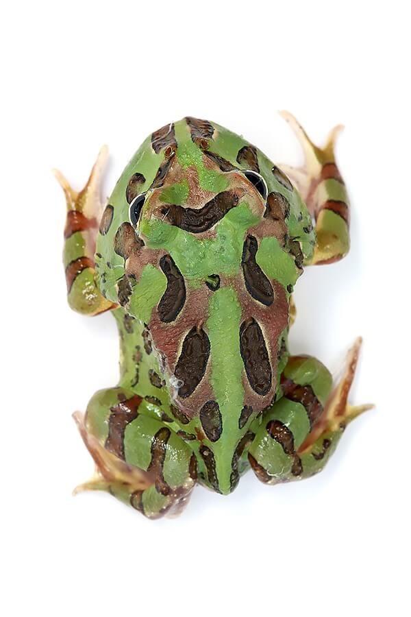 "Cranwelli Schmuckhornfrosch ""camouflage"" - Ceratophrys cranwelli"