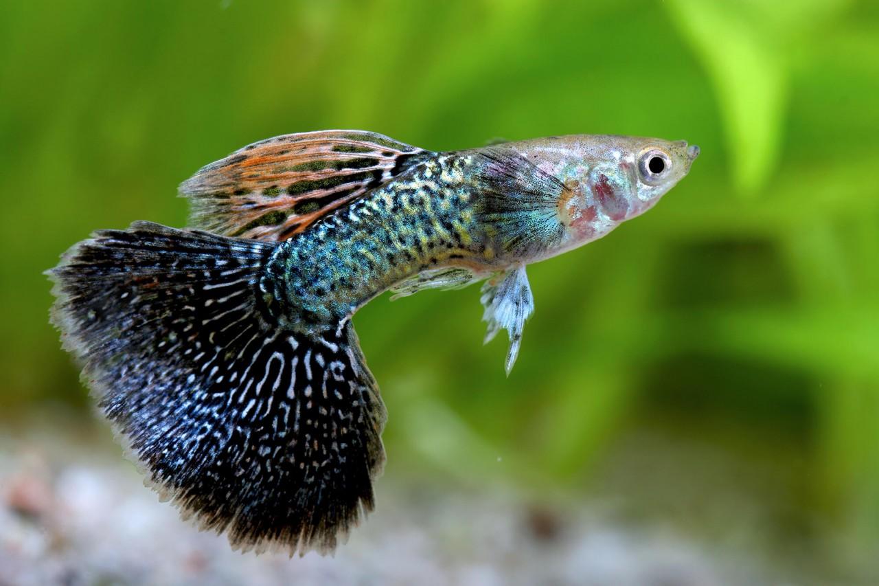 "Guppy ""Mosaik black"" - Poecilia reticulata"