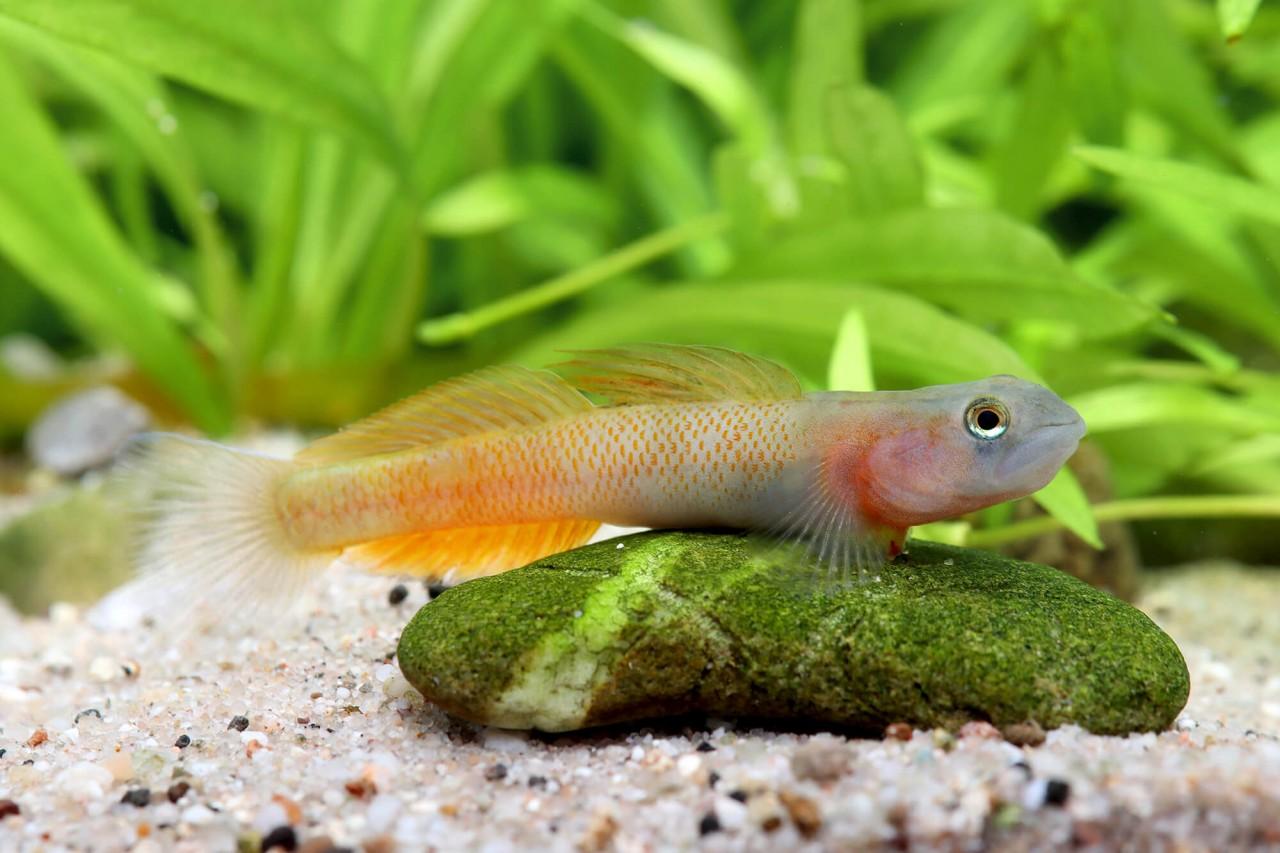 "Neongrundel ""Teardrop"" - Sicyopus multisquamatus"