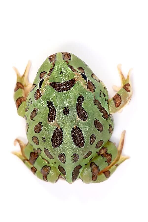 "Cranwelli Schmuckhornfrosch ""grün"" - Ceratophrys cranwelli"