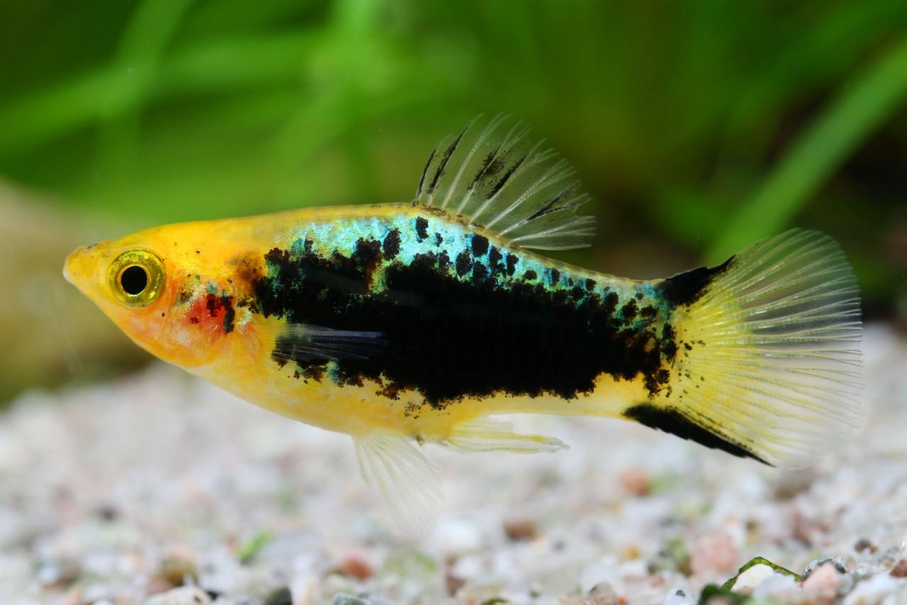 "Platy ""Glühlicht Gelb Tuxedo"" - Xiphophorus maculatus"