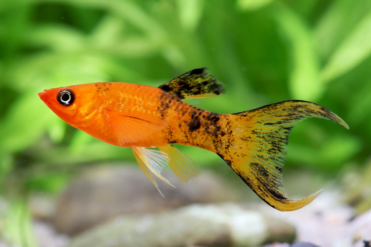 """Molly """"Red calico Lyratail"""" - Poecilia sphenops"""