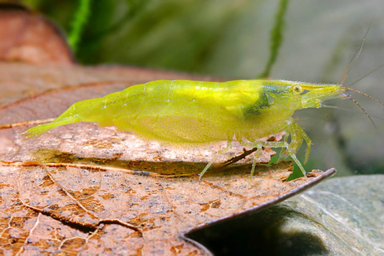 "Zwerggarnele ""Indien green"" - Caridina cf. babaulti"
