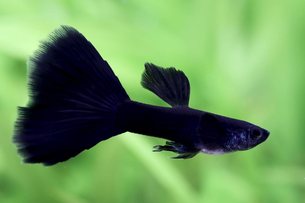 "Guppy ""Black Panther"" - Poecilia reticulata"