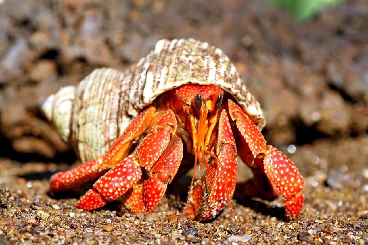 "Landeinsiedler ""Red"" - Coenobita rugosus"
