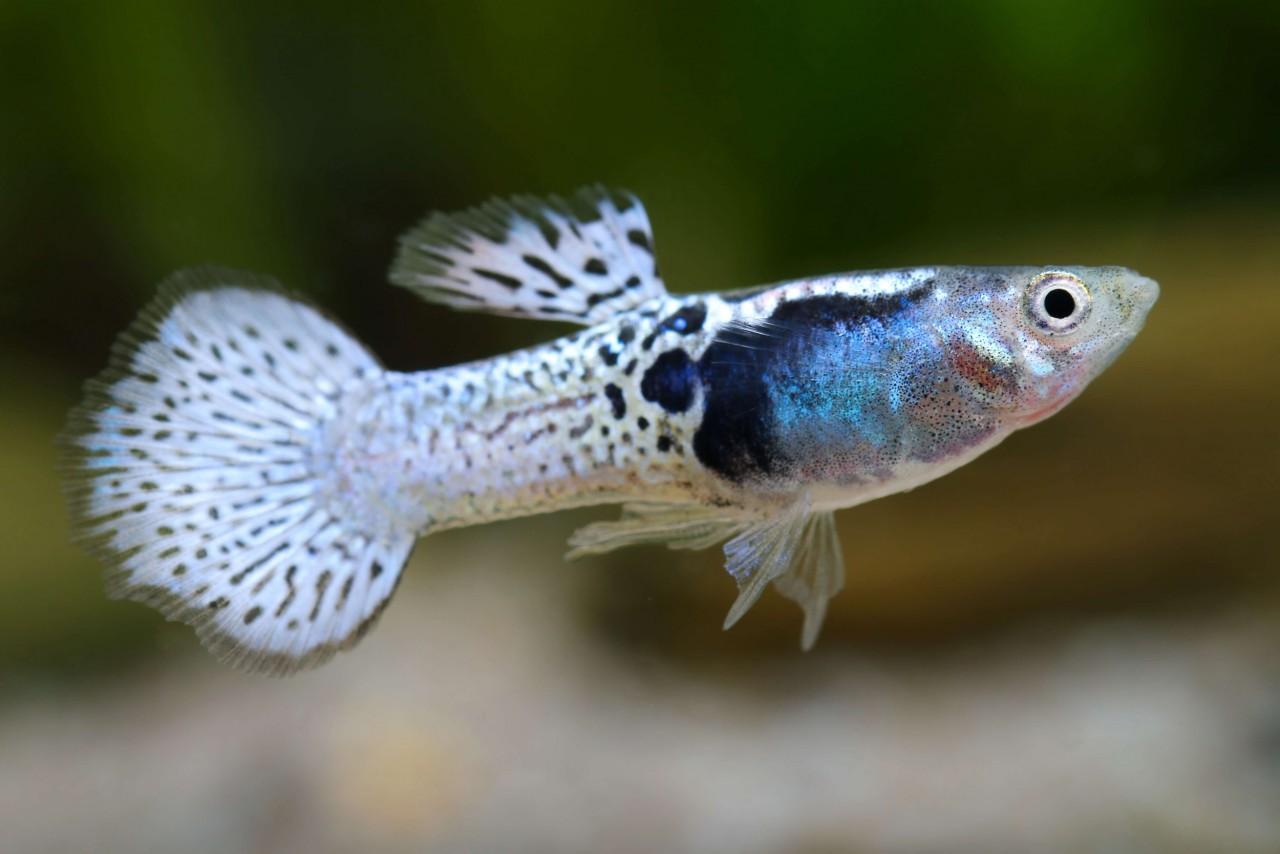 "Guppy ""Moscow blue Grasshead"" - Poecilia reticulata"