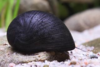 Anthrazit-Napfschnecke (black) - Neritina pulligera