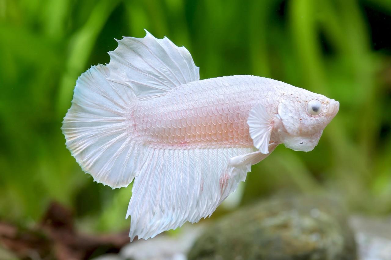 """Kampffisch Halfmoon """"Opaque white"""" - Betta splendens"""