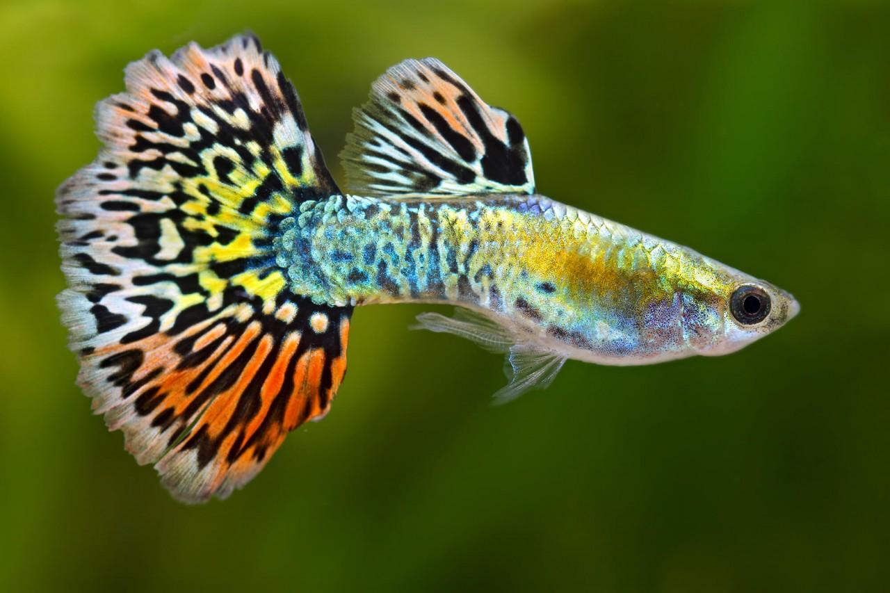 "Guppy ""Luminous Leopardtail"" - Poecilia reticulata"
