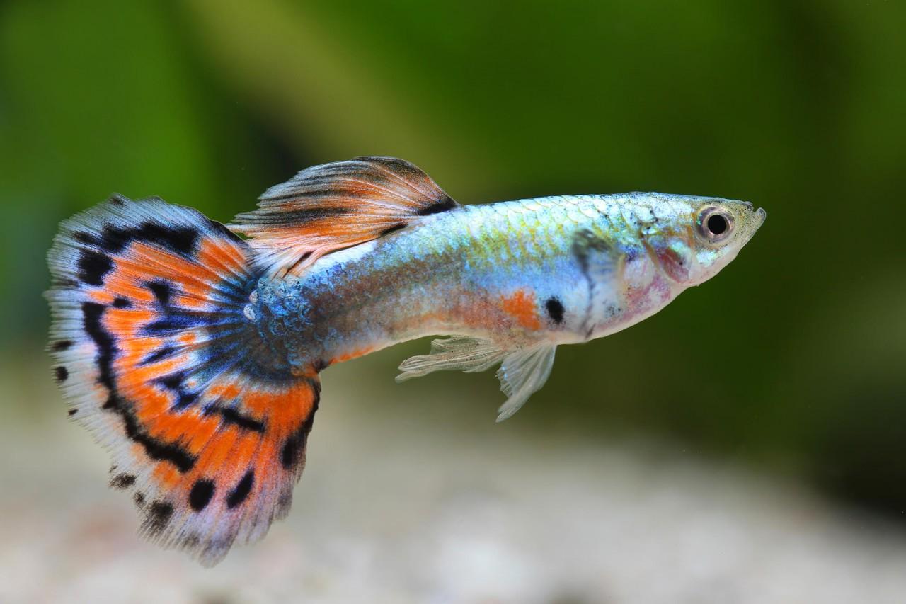 "Guppy ""Mosaik metallic"" - Poecilia reticulata"