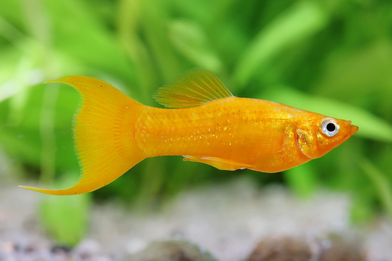 """Molly """"Goldpuder Lyratail"""" - Poecilia sphenops"""