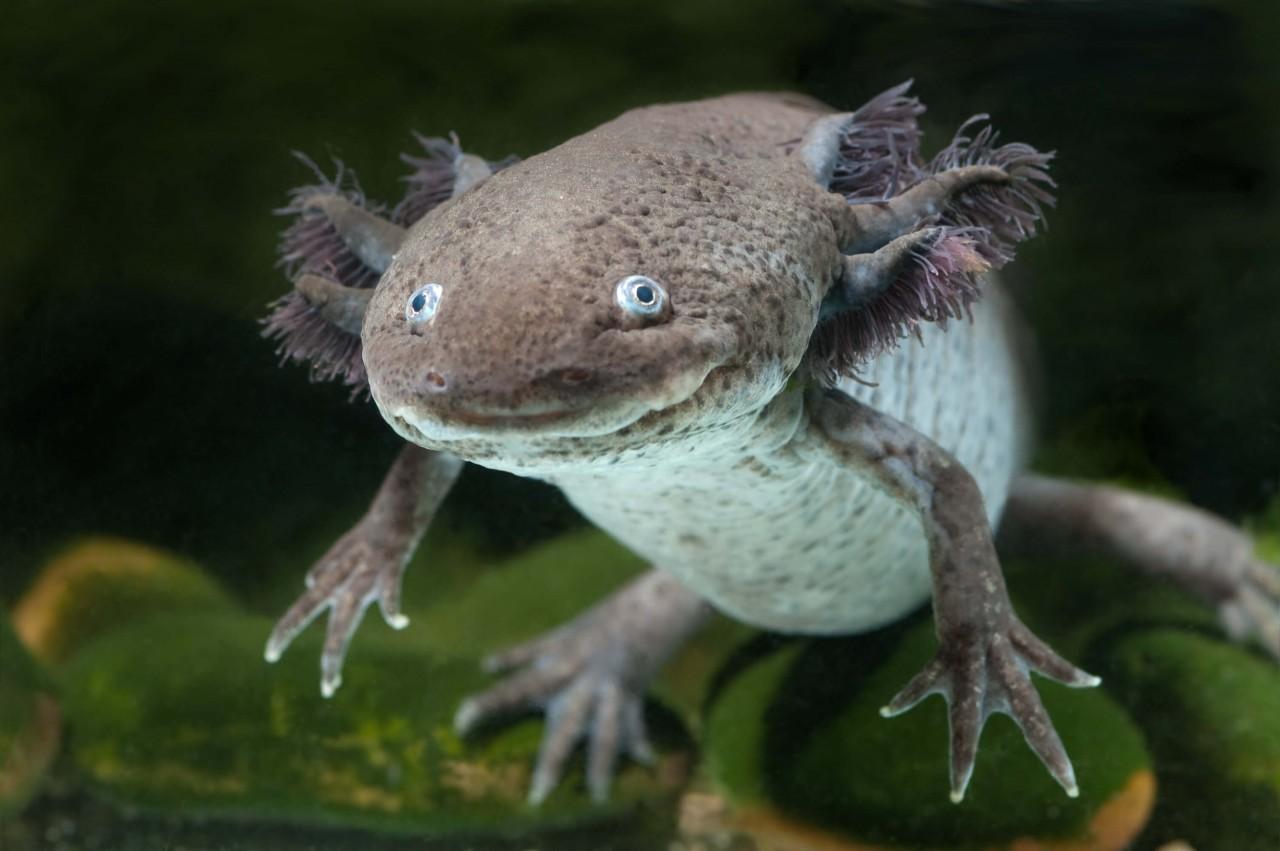 "Axolotl ""Wildfarben"" - Ambystoma mexicanum"