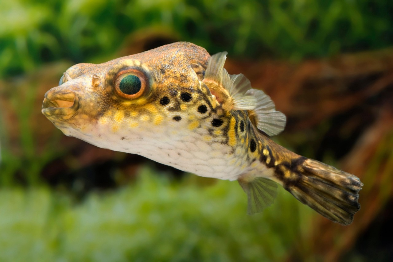 Echter Dragon Kugelfisch - Pao (Tetraodon) palembangensis