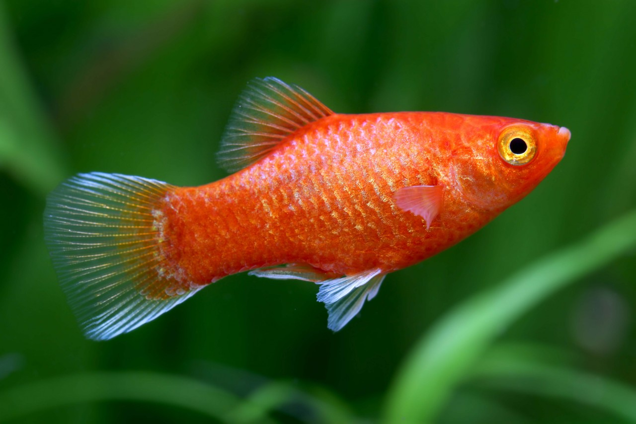 """Platy """"Glühlicht Orange"""" - Xiphophorus maculatus"""