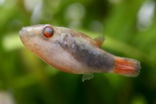 Rotschwanz Kammkugelfisch - Carinotetraodon irrubesco