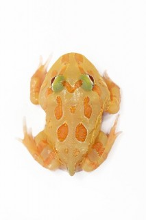 Cranwelli Schmuckhornfrosch (Zuchttiere) - Ceratophrys cranwelli