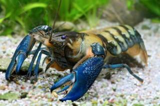 Blauer Papua-Flusskrebs - Cherax communis
