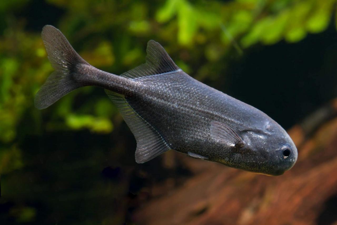 Rundnasenelefantenfisch - Pollimyrus spec.