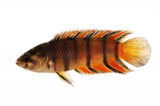 Orangestreifen Buschfisch - Microctenopoma ansorgeii