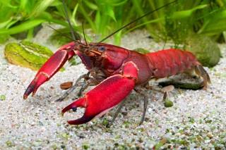 Roter Papua-Flusskrebs - Cherax cf. boesemani