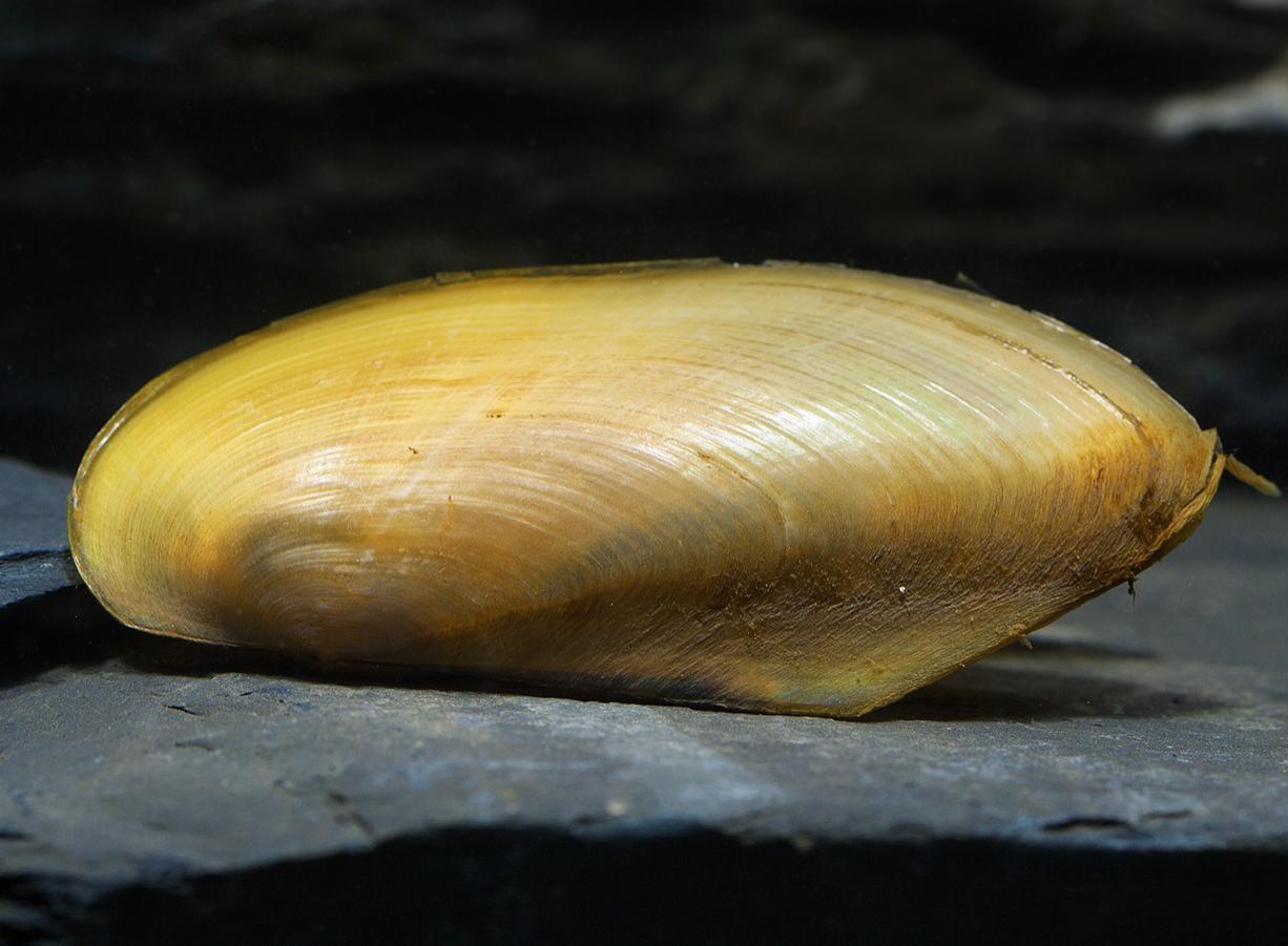 "Tropische Muschel ""Flachmuschel"" - Ensidens cf. ingallsiansu"