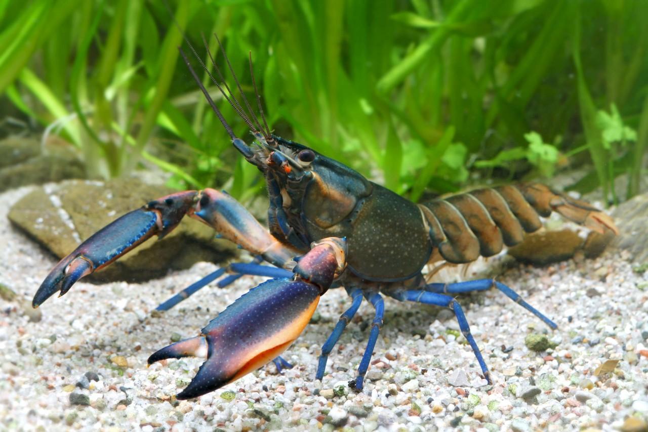 """Krebs """"Kambuaya Creek blue claw"""" - Cherax boesemani"""