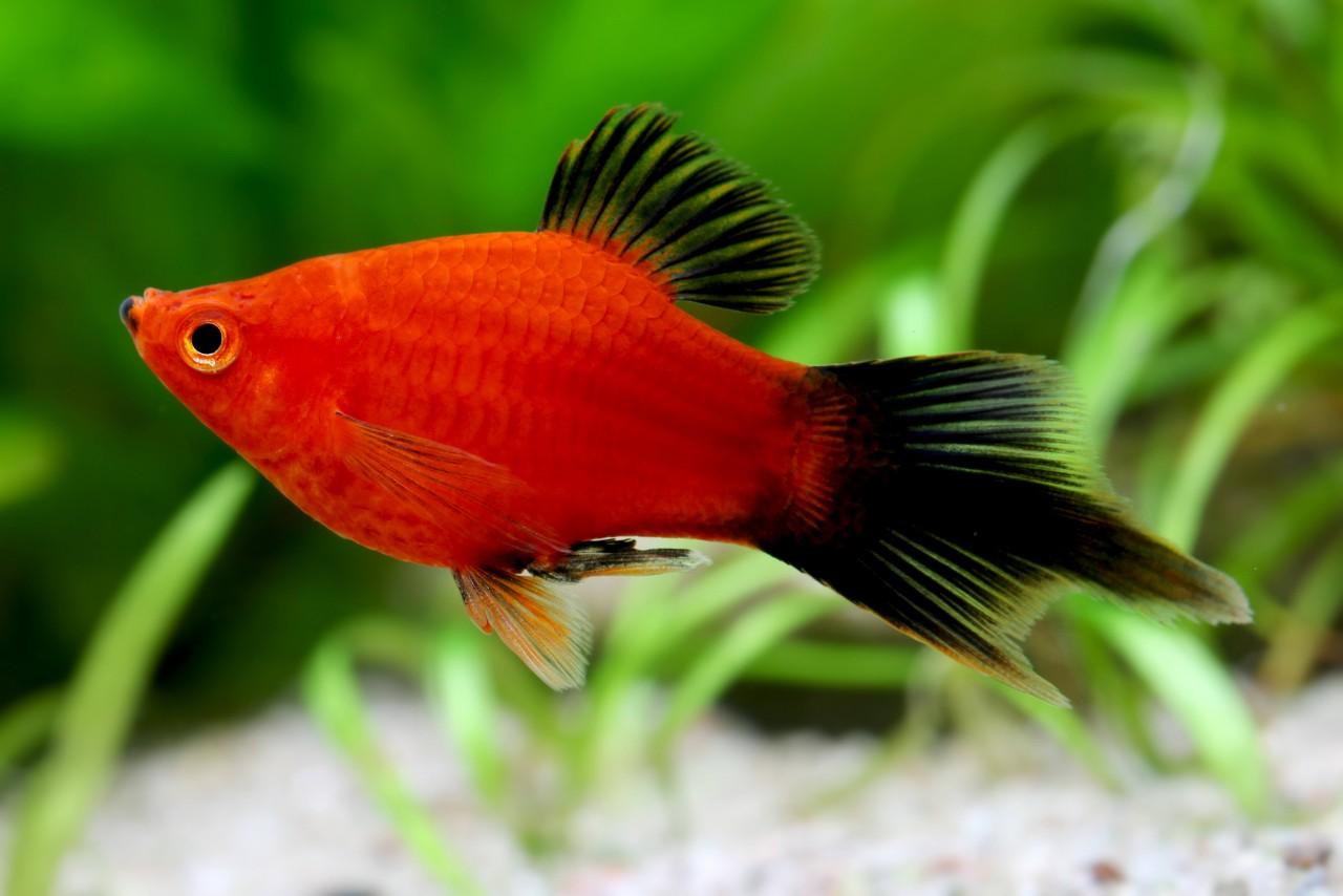 """Platy """"Korallen Pinselschwanz Wagtail"""" - Xiphophorus maculatus"""