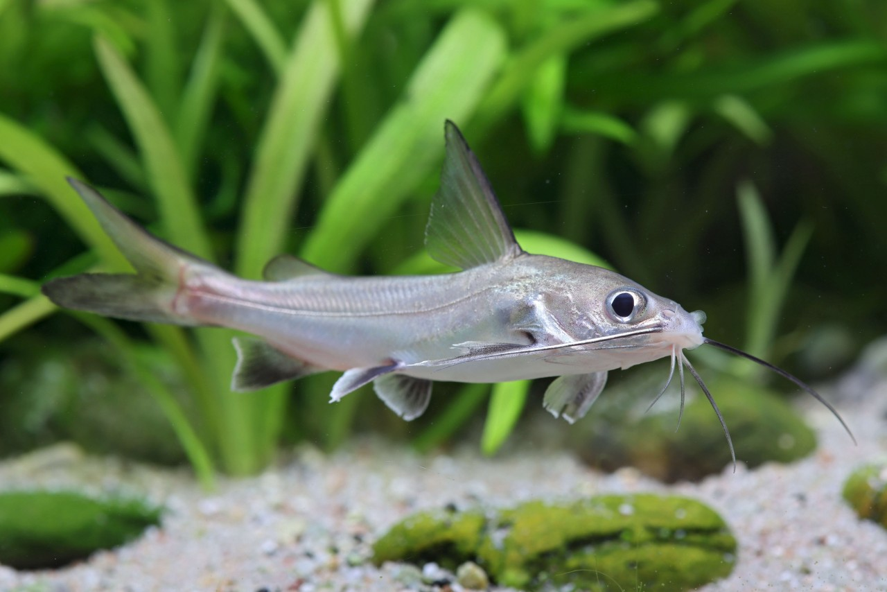 Mini Hai (Brackwasser) - Hexanematichthys (Arius) seemani
