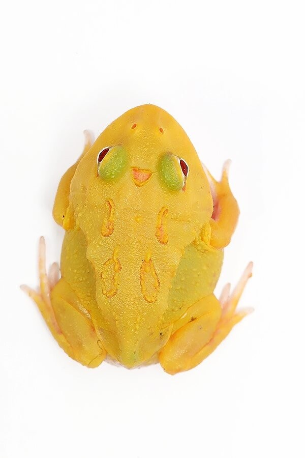 """Cranwelli Schmuckhornfrosch """"pikachu super"""" - Ceratophrys cranwelli"""