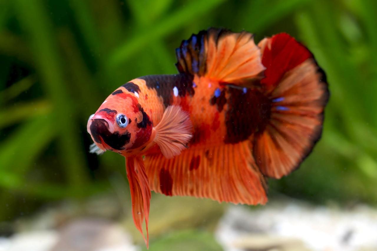 """Kampffisch Halfmoon """"Koi Nemo"""" - Betta splendens"""